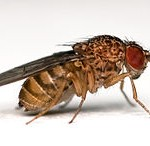 Drosophila-wikipedia